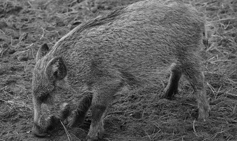 wild-boar-1797724_1280