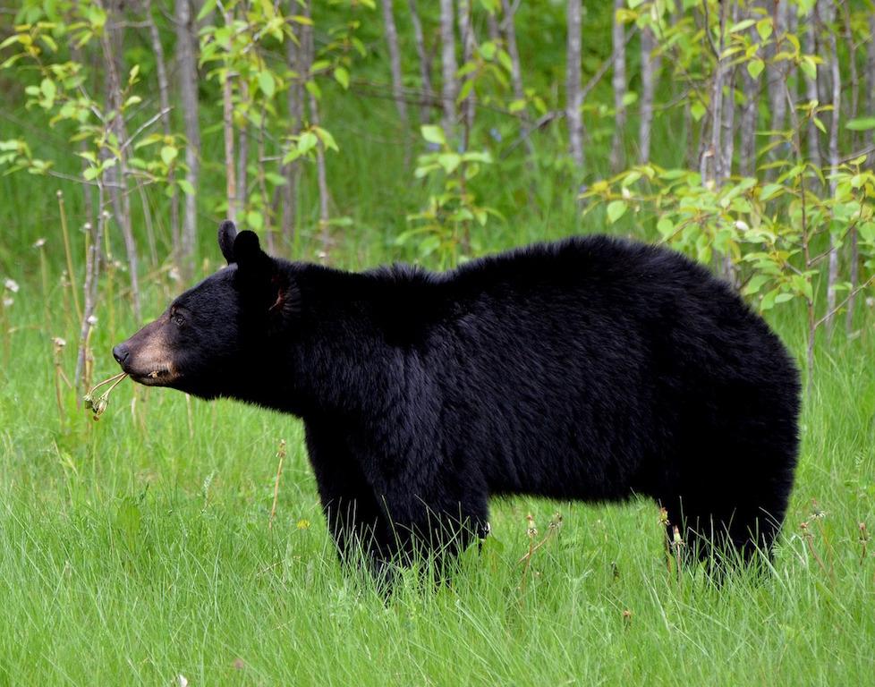 bear-1102599_1280